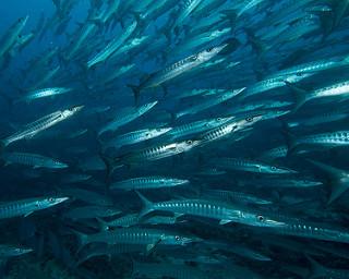 Um cardume de barracudas. Eu não gosto delas desde que uma comeu a mãe do Nemo... mas aqui em Komodo tem montes (fonte: www.flickr.com/photos/barrypeters/)